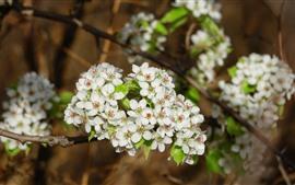 Flores de pera blanca, flor, primavera