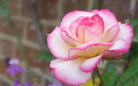 Preview wallpaper White pink petals rose close-up