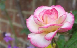 White pink petals rose close-up