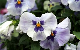 Preview wallpaper White purple petals, pansies