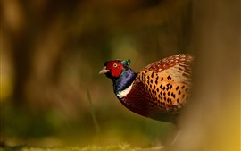 Preview wallpaper Wildlife, pheasant
