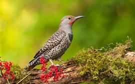 Pica-pau, pássaro, galho de árvore, bagas vermelhas