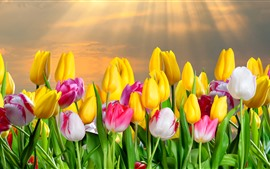 Preview wallpaper Yellow and pink white tulips, sun rays