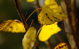 Follaje amarillo, ramitas, otoño