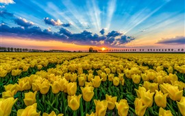 Preview wallpaper Yellow tulips field, trees, blue sky, clouds, sunset