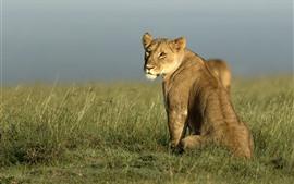 Africano, leoa olhar para trás, grama