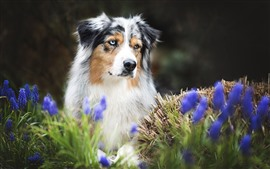 Preview wallpaper Australian shepherd, dog, blue flowers