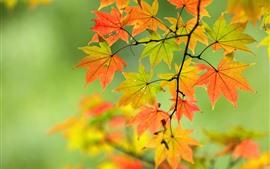Autumn, maple leaves, twigs, nature