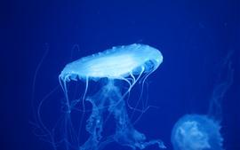 미리보기 배경 화면 아름다운 해파리, 푸른 배경