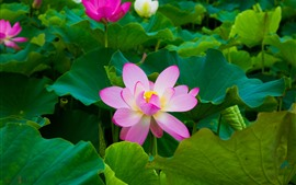 Preview wallpaper Beautiful pink lotus, green leaves, park