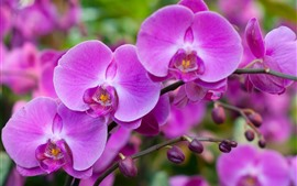 Preview wallpaper Beautiful pink phalaenopsis, spring flowers