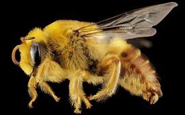 Fotografia macro de abelha, inseto, fundo preto