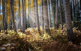 Birch forest, trees, bushes