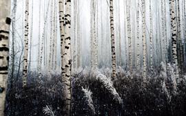 Birch, trees, frost
