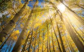 Abedul, árboles, hojas amarillas, rayos del sol, deslumbramiento.