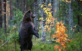 Preview wallpaper Black bear standing up, trees, leaves, autumn