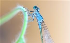 Libélula azul, grama