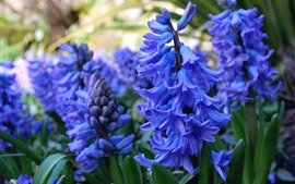 Preview wallpaper Blue hyacinth, spring flowers