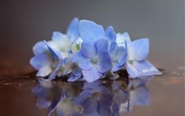 Blue hydrangea, flowers, water, reflection