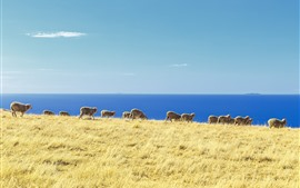 Preview wallpaper Blue sea, grass, sheep