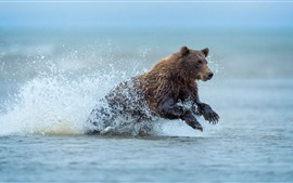 Brown bear running in water, splash, Alaska