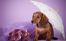 Preview wallpaper Brown dog, dachshund, umbrella, pink flowers