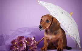 Cachorro marrom, dachshund, guarda-chuva, flores cor de rosa