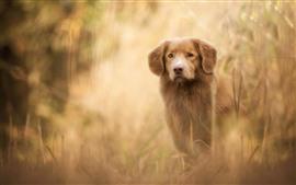 Perro marrón, vista frontal, brumoso