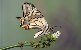 Preview wallpaper Butterfly, swallowtail, wings, white flowers