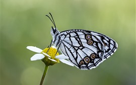 Preview wallpaper Butterfly, white petal flower, insect