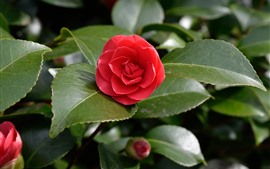 Preview wallpaper Camellia, red flower, green leaves