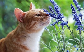 Cat and lavender flowers