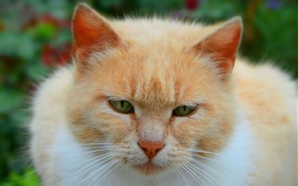 Preview wallpaper Cat front view, face, eyes, orange and white