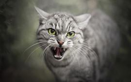 Vista frontal do gato, olhos verdes