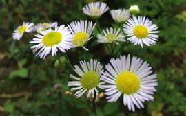 미리보기 배경 화면 카모마일, 하얀 꽃잎, 여름