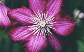 Clematis, pétalas de rosa, close-up de flor