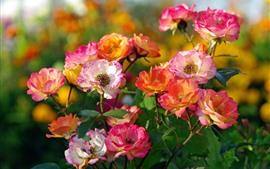 미리보기 배경 화면 다채로운 장미, 핑크, 화이트, 오렌지