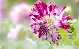 Preview wallpaper Dahlia, pink and white petals