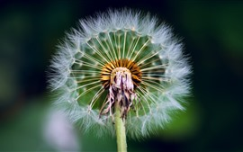 Preview wallpaper Dandelion macro photography, stem, fluff