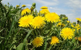 Preview wallpaper Dandelions, yellow flowers close-up, summer
