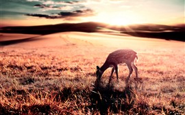 Preview wallpaper Deer eat grass, sunrise, glare