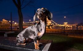 Dog look back, city, night