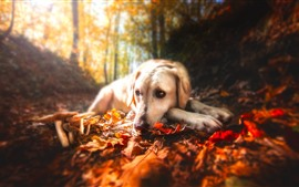 Dog, red leaves, mushroom
