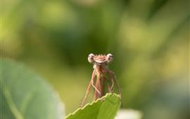 미리보기 배경 화면 잠자리, 곤충 근접, 잎