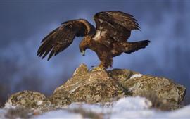 Eagle open wings, stones