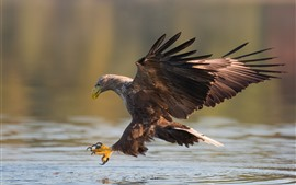 Eagle, water, wings, bird