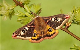 Preview wallpaper Emperor moth, butterfly, wings, twigs, leaves