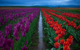 Preview wallpaper Flowers fields, red and purple tulips, morning