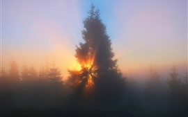 Forest, trees, sun rays, fog, morning