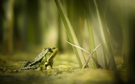 Preview wallpaper Frog, water, grass
